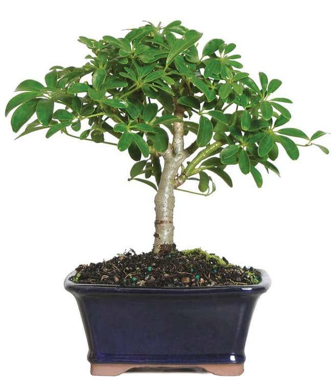 Lush Umbrella Bonsai Planter