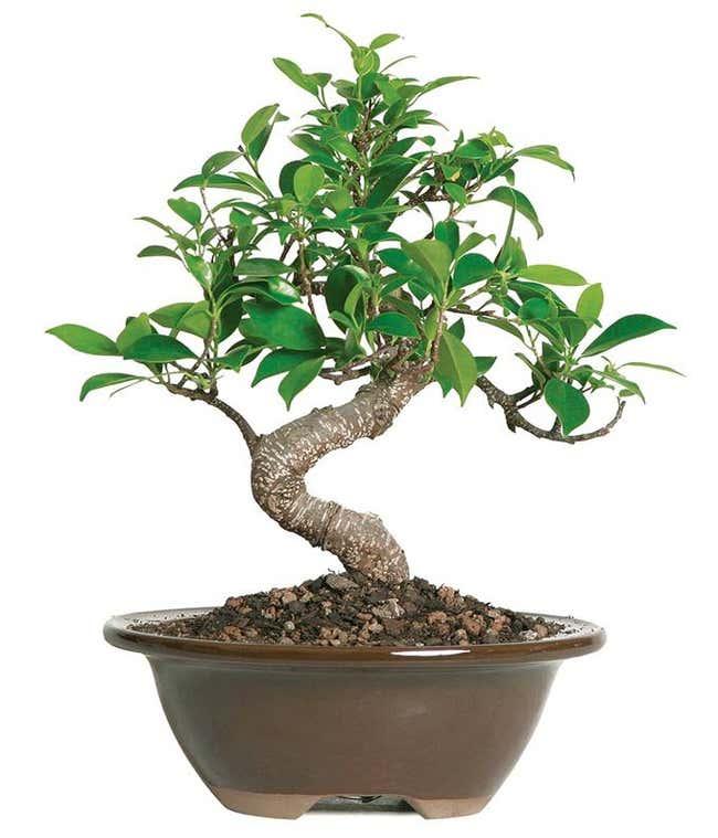 Beginner Ficus Indoor Bonsai Tree