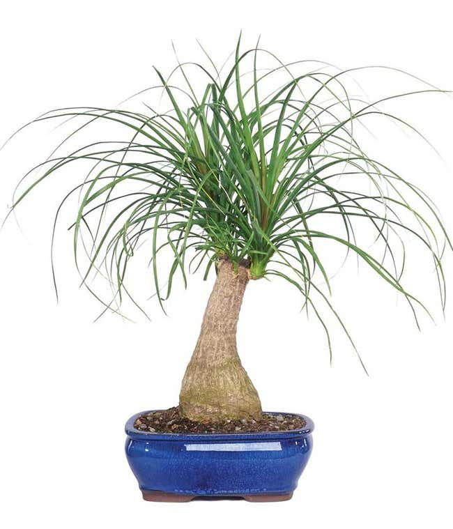 Ponytail Palm Potted Plant