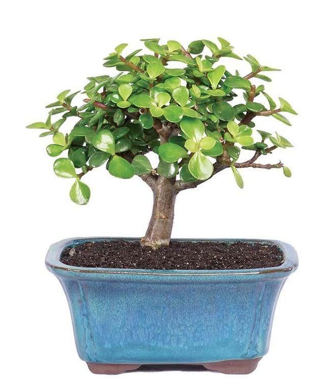 Succulent Jade Bonsai Tree