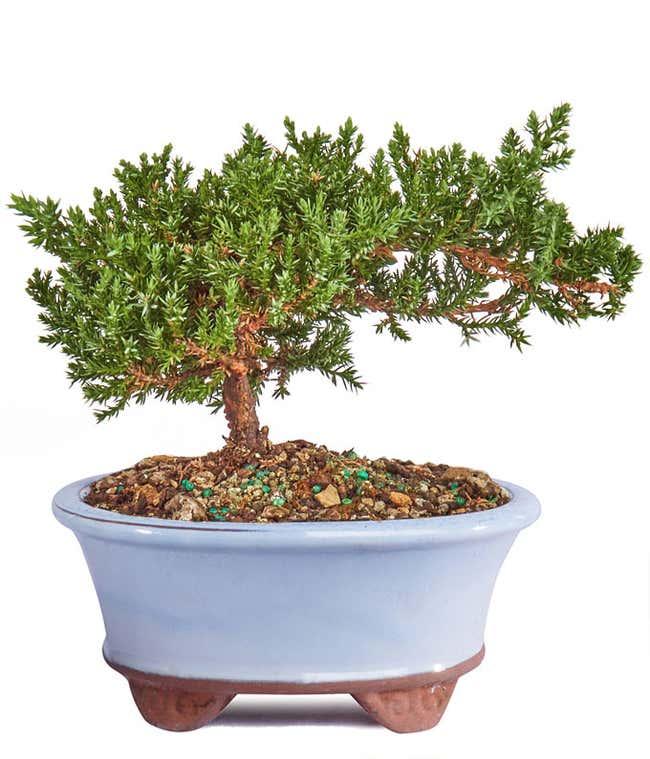 Japanese Juniper Bonsai Tree