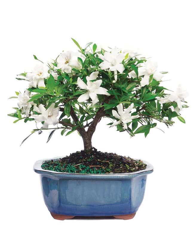 Gardenia Bonsai Potted Plant