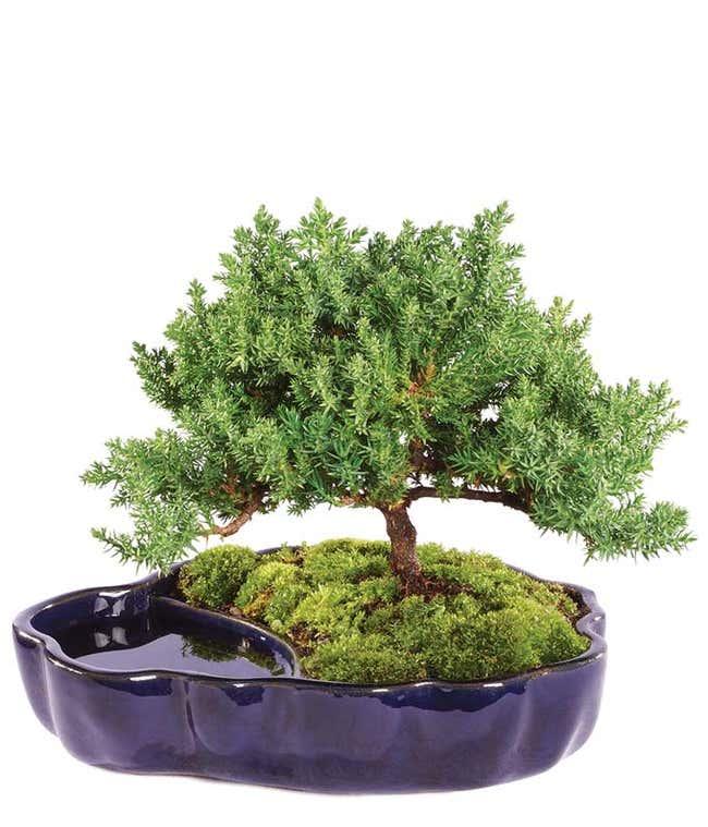 Zen Reflections Juniper Bonsai Plant