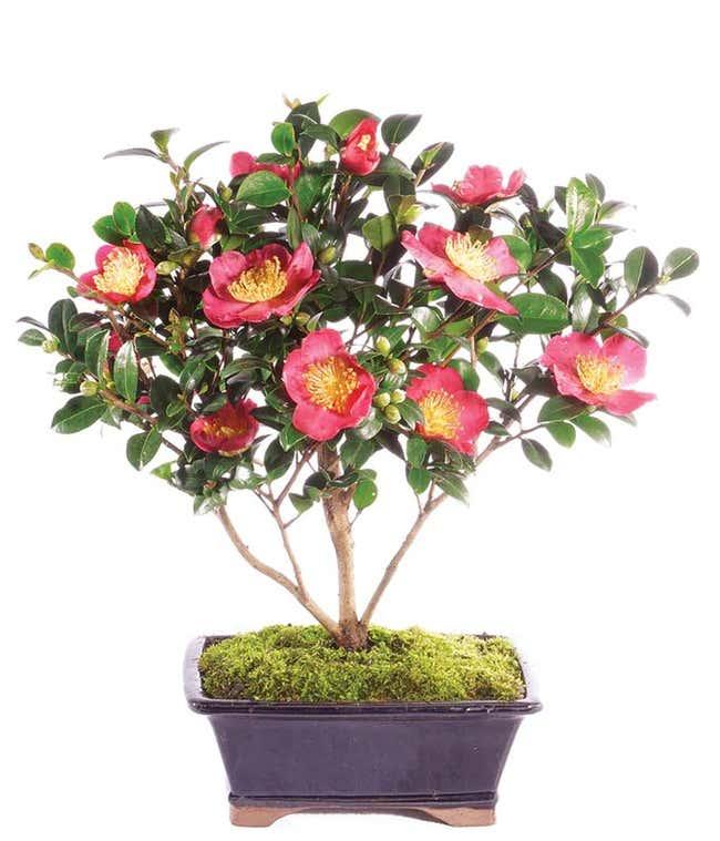 Camellia Bonsai Tree
