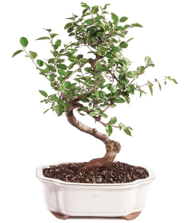 Sweet Plum Bonsai Tree