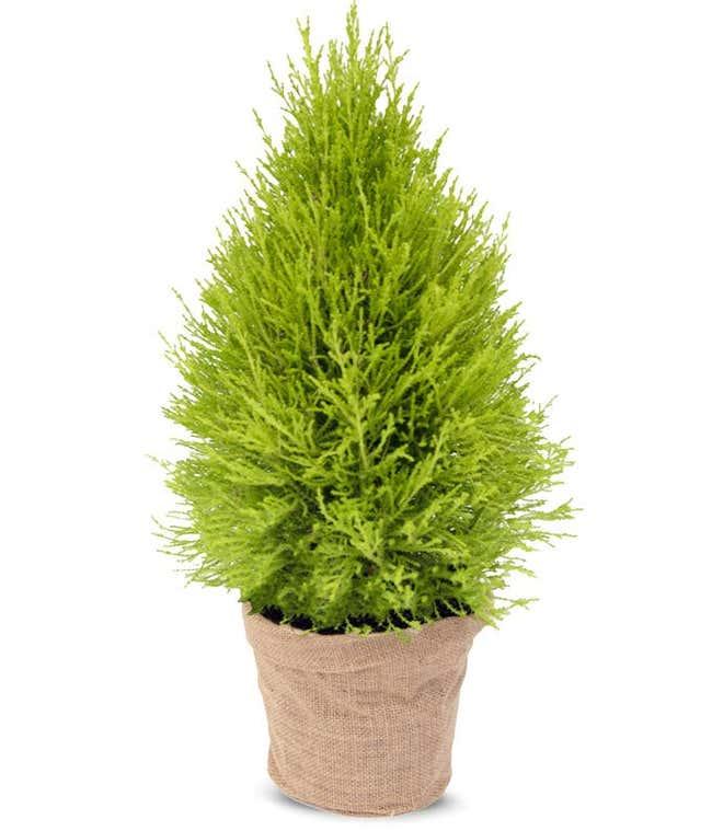 Lemon Cypress Potted Plant