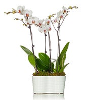 Quadrupple White Orchid Planter