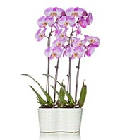 Quadrupple Pink Orchid Planter