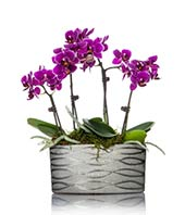 Four mini purple orchids planted in a silver container