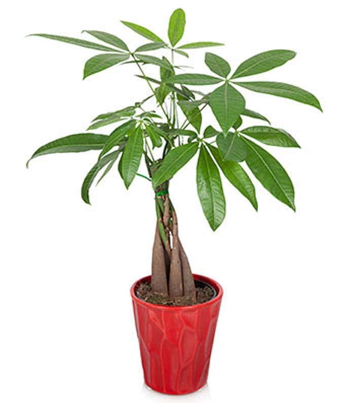 Potted Money Tree