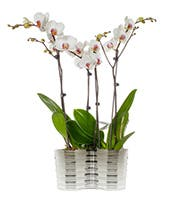 Four White Orchids in one container