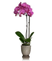 Orchid Phalaenopsis Double Spike Plant