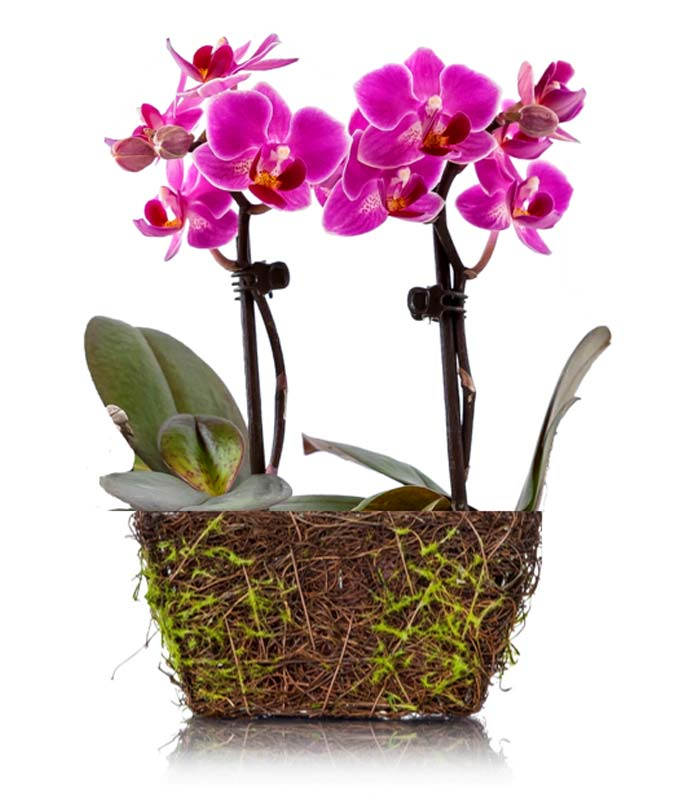 Pink orchids in a wood twig container