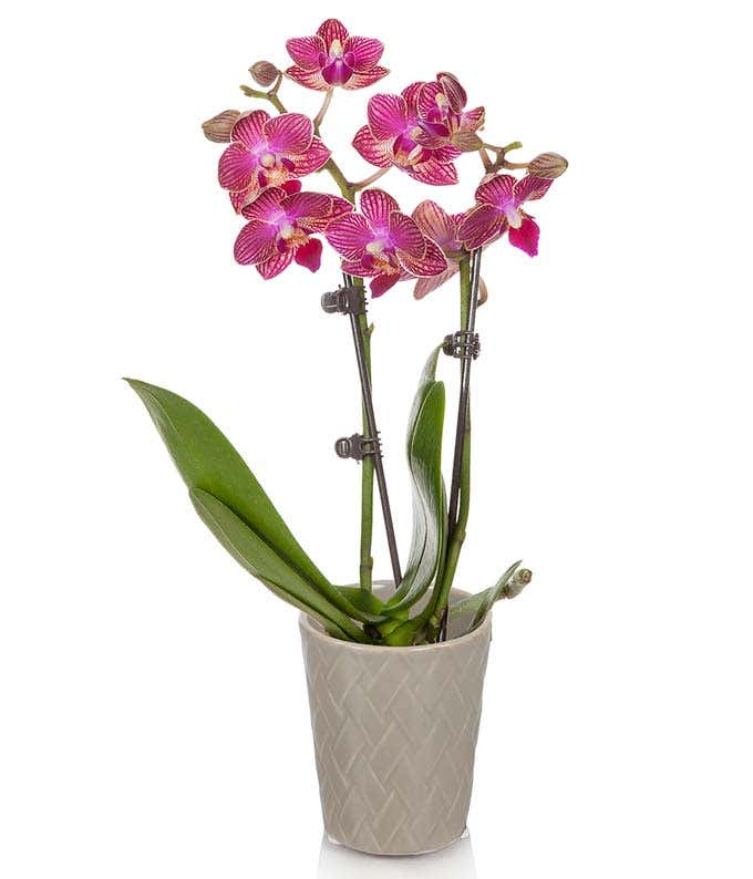 Magenta orchid in natural vase