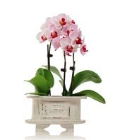 Graceful Pink Orchids