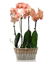 Elegant Pink Orchids - Grey Container