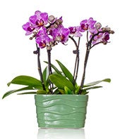 Purple Mini Orchid Plant