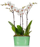 Seagreen Delight Orchid