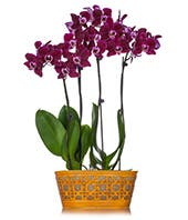 Four tall purple orchids in a yellow container