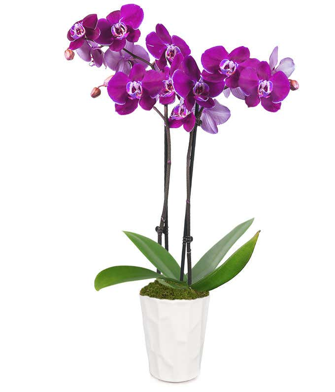 Posh Purple Orchid