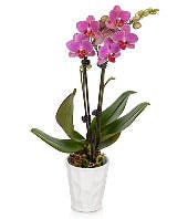 Pretty Pink Orchid Plant