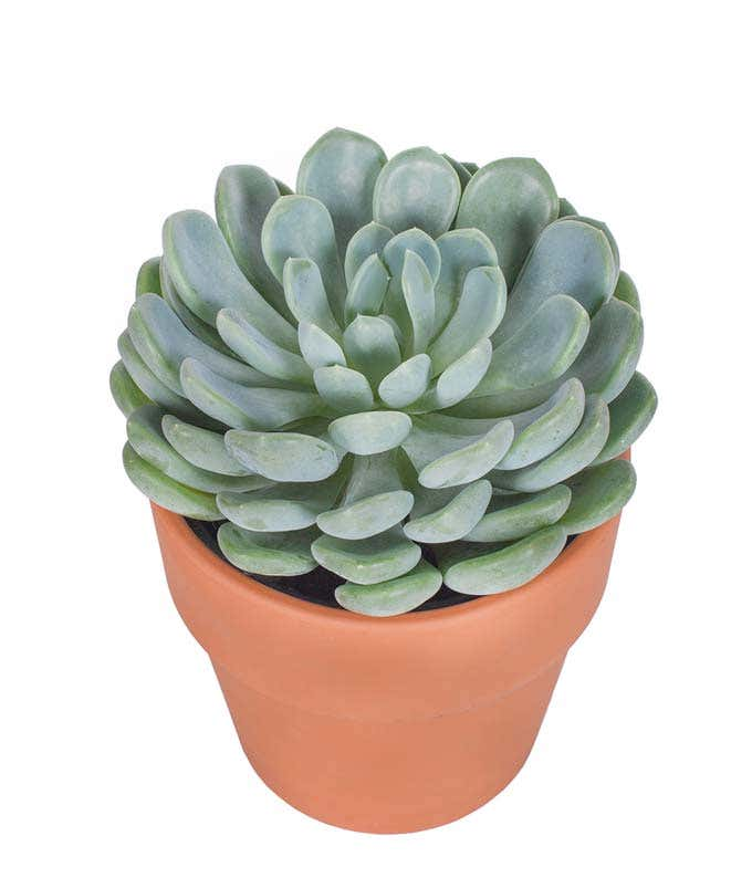 Succulent for delivery
