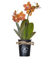 Orange Orchids in...