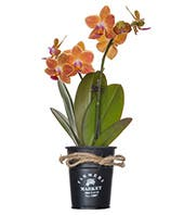 Orange Orchids in Planter