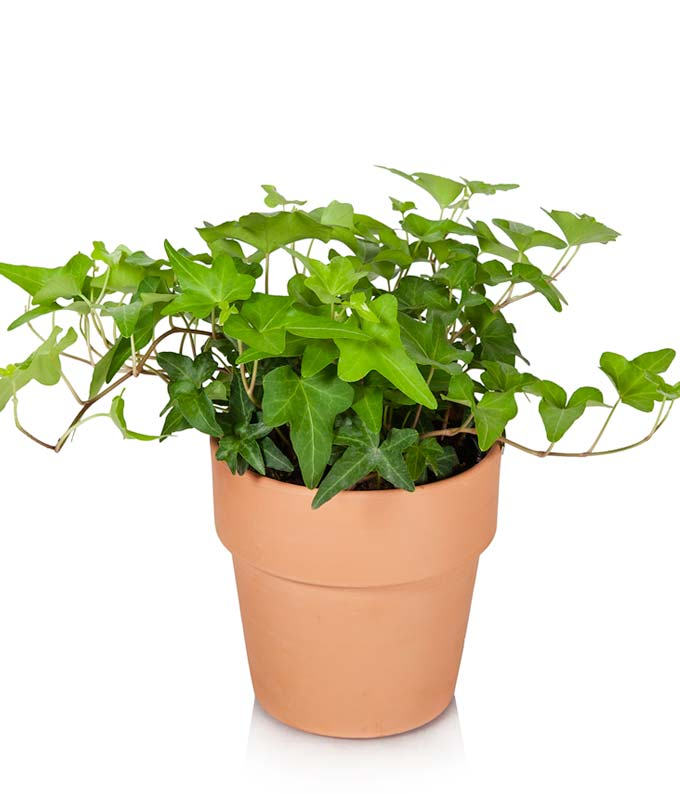Ivy Foliage Plant