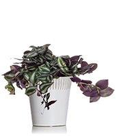Zenful Zebrina Plant