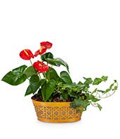 Anthurium and Ivy