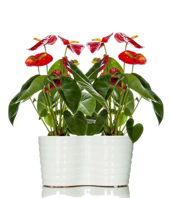 Elegant Anthurium