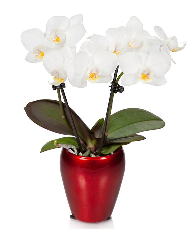 Mini white orchid in a red pot