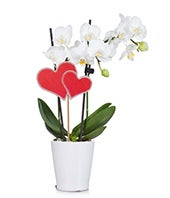 Wild Hearts Orchid