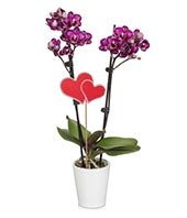 Royal Love Orchid