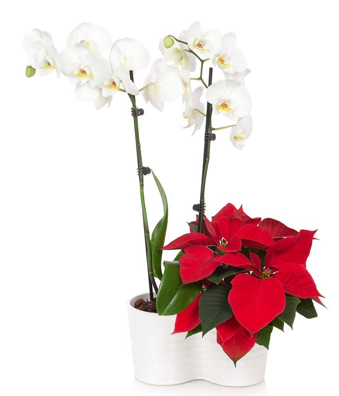 Opulent Christmas Orchid