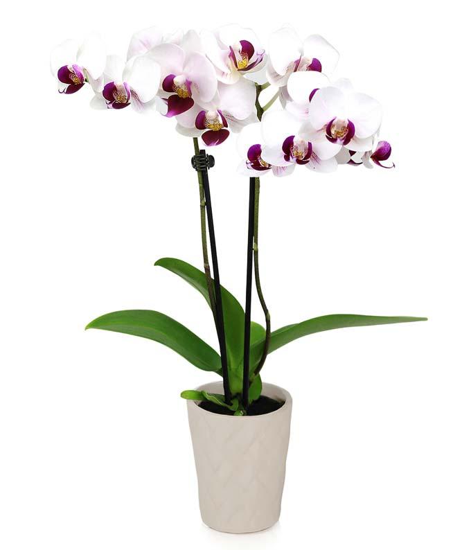 Graceful In Gray Mini Orchid