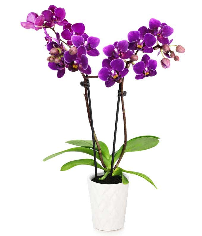 Touch of Royalty Mini Orchid