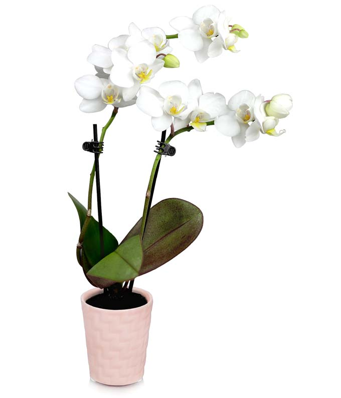 Tender Tranquility Mini Orchid