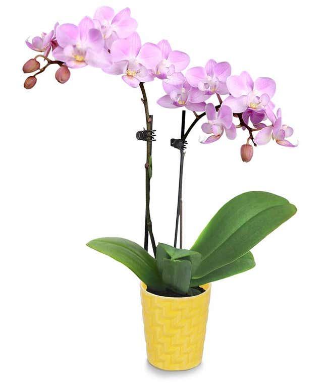 Autumn Sunshine Mini Orchid
