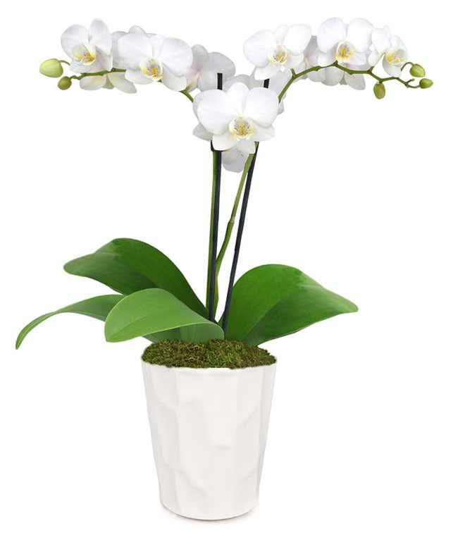 Wonderful White Orchid