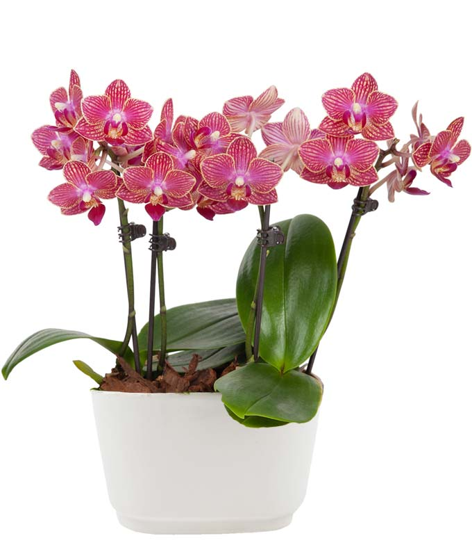 Tropical Sunrise Mini Orchid