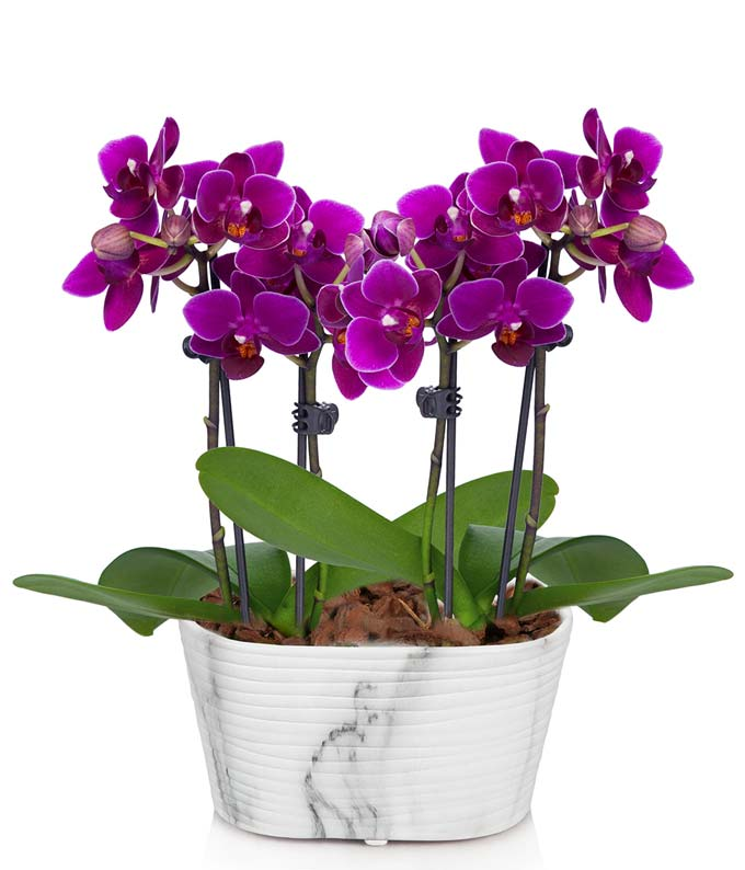 Four purple orchids in a single container