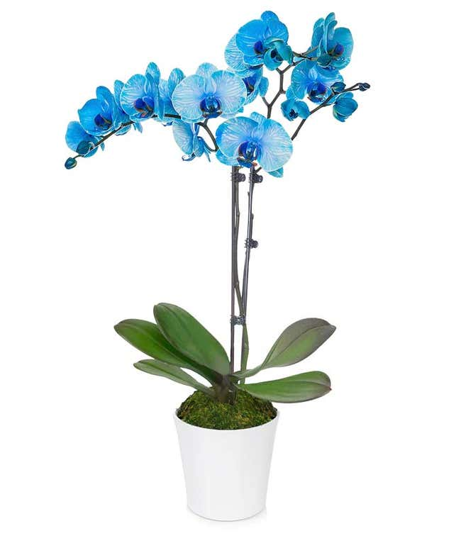 Sapphire Lights Orchid
