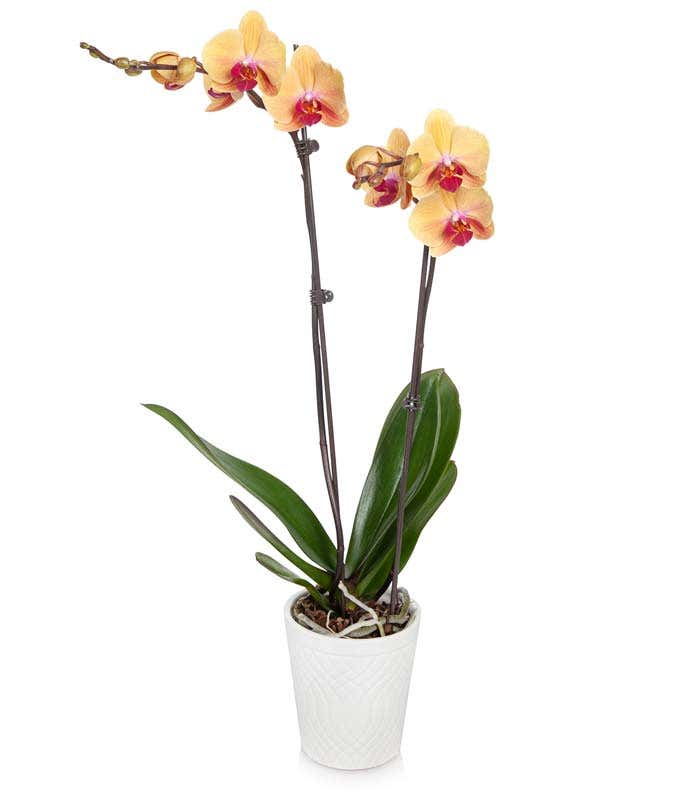 Peach orchid delivery