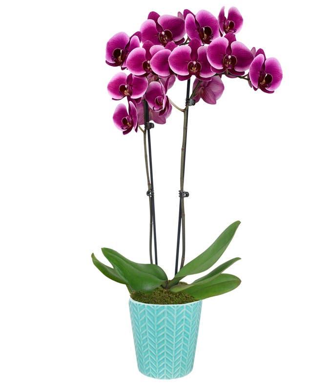 Mystical Mermaid Orchid