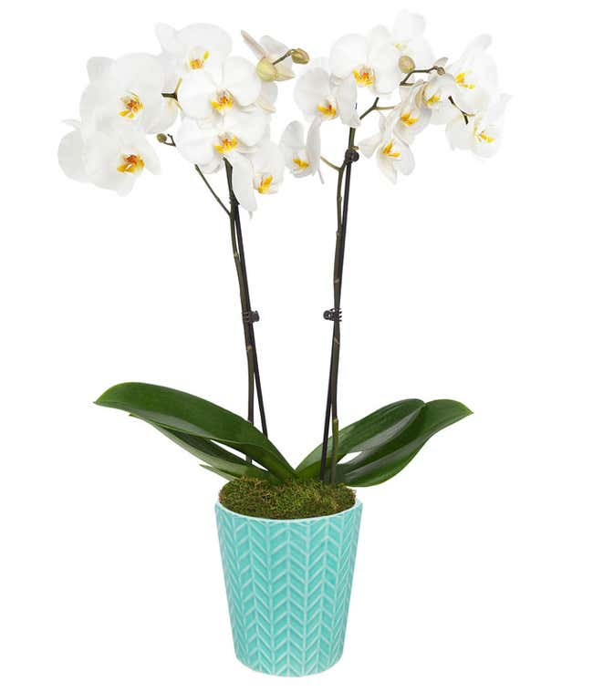 Seafoam Breeze Orchid