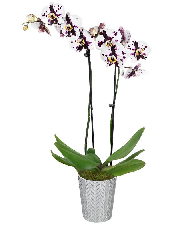 Dainty Dappled Orchid