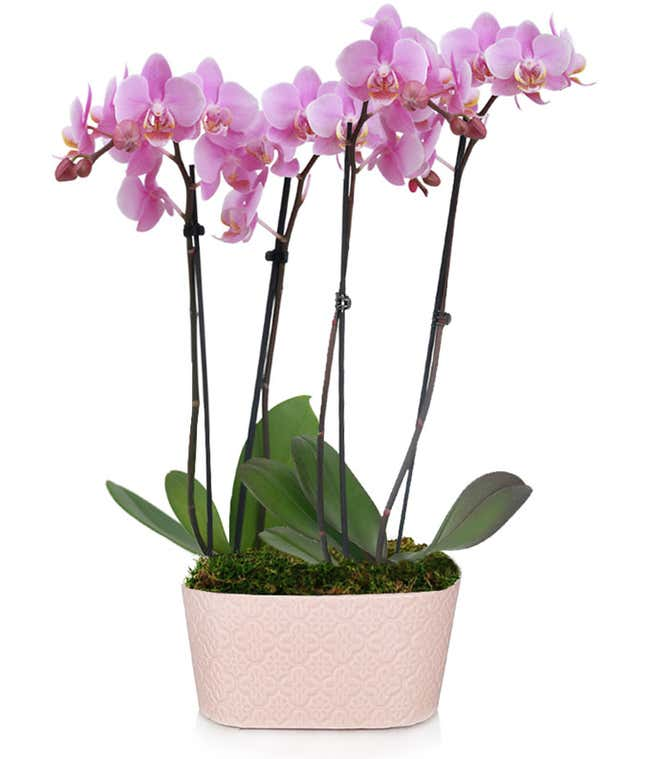 Ballet Bliss Orchid
