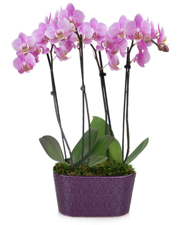 Large purple orchid plant